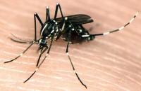 mosquito%20tigre[1]